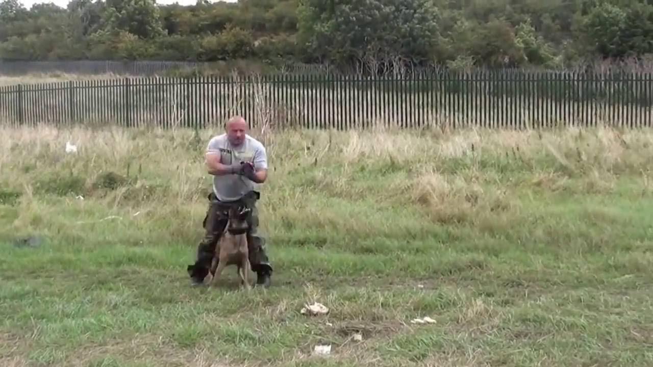 Demonstração de treinamento de um cão policial
